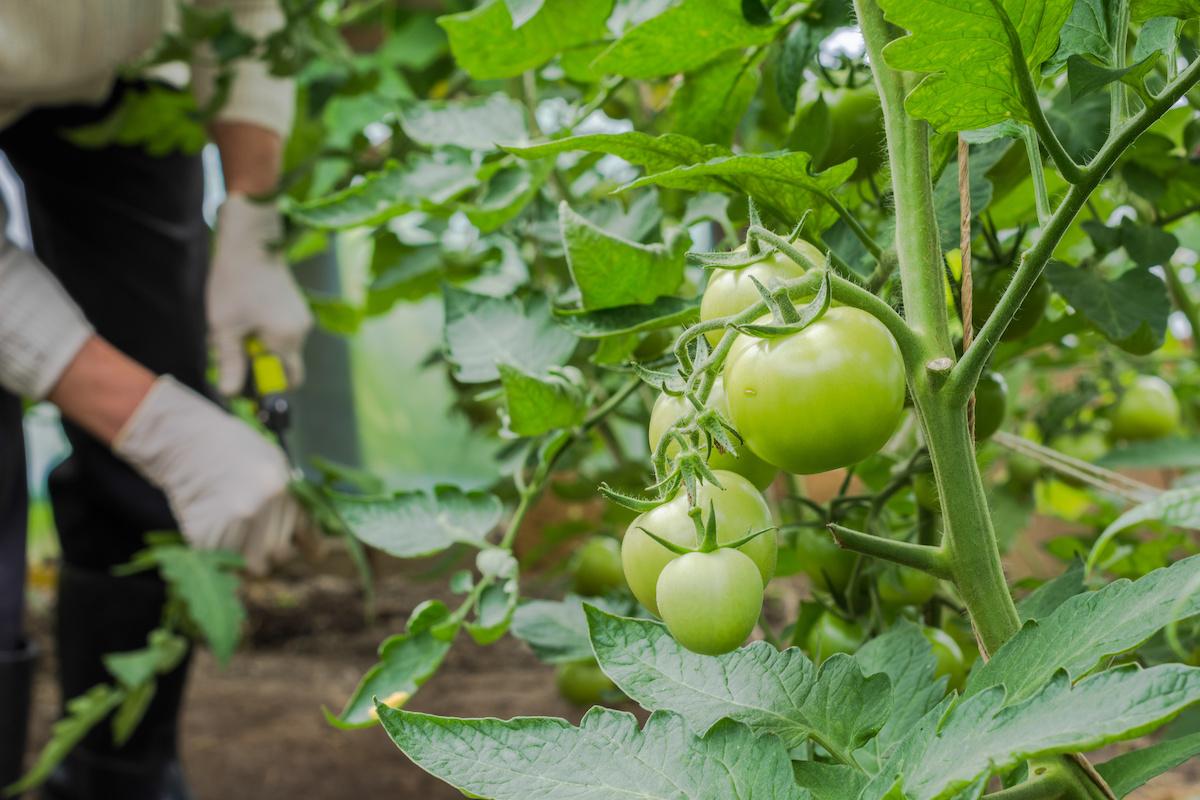 摘果 トマト