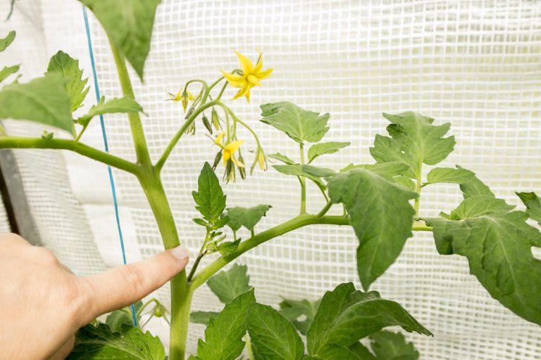ミニ トマト 芽 かき